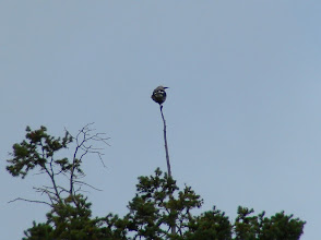 Photo: Far away but still identifiable as Clark's Nutcracker