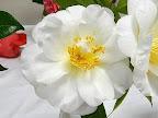 白色 八重 抱え咲き 筒しべ ときに旗弁 中〜大輪