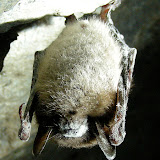 Little Brown Bat (with WNS)