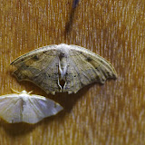 Uraniidae : Epiplemidae : Trotorhombia metachromata (Walker, 1861) (?). Mount Totumas, 1900 m (Chiriquí, Panamá), 20 octobre 2014. Photo : J.-M. Gayman