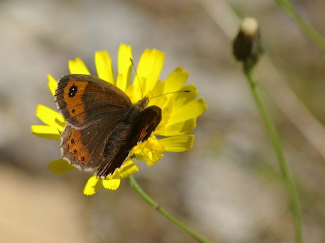 Erebia neoridas BOISDUVAL, 1828, femelle. Vallon Claous, 2040 m (Mélezen, Alpes-de-Haute-Provence), 6 août 2009. Photo : J.-M. Gayman
