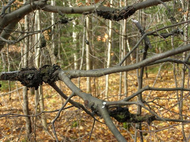 Black Knot on cherry trees
