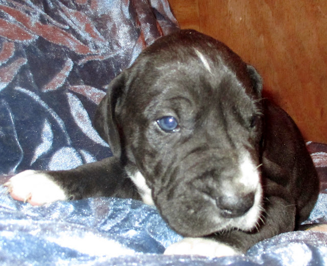 Available black male @ 4 weeks