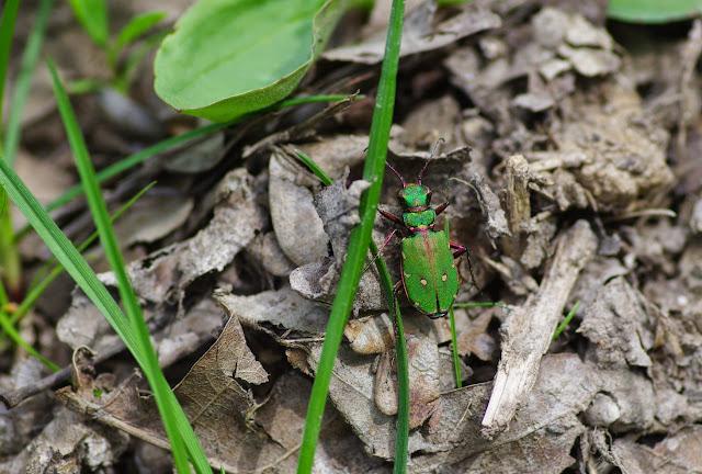 Carabidae : Cicindela campestris Linnaeus, 1758. Les Hautes-Lisières (Rouvres, 28), 16 avril 2015. Photo : J.-M. Gayman