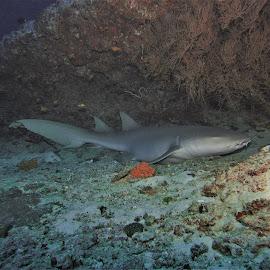 by Phil Bear - Animals Fish ( shark, reef, coral, fish, nurse shark, coral reef, maldives )