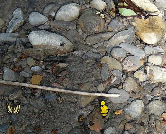 Deux exemplaires de Baeotis staudingeri D'ABRERA, 1994 (Riodinidae). En haut : Eurytides serville serville GODART, 1824. Taipiplaya (alt. 850 m). Bolivie, 18 janvier 2008. Photo : J. F. Christensen