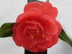 花色は変化に富み 紅花、白覆輪、絞り花など 咲き分ける 宝珠〜八重咲き 大輪