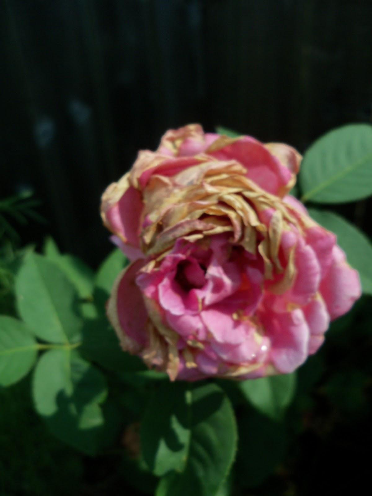 Gardening 2010, Part Two - 101_3390.JPG