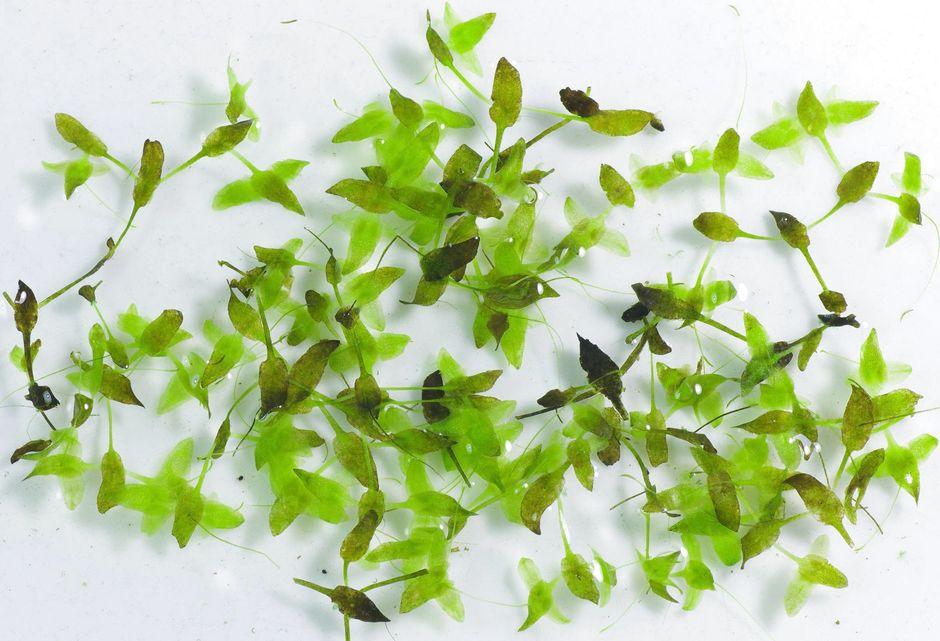 Ряска трехраздельная (Lemna trisulca)