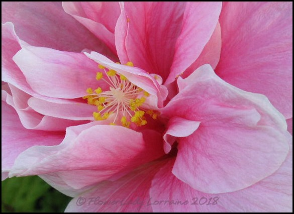 04-16-pink-hibiscus2