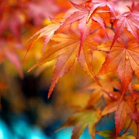 Color Drop by Scott Hemenway - Nature Up Close Leaves & Grasses ( orange, red, nature, tree, color, autumn, leaf, leaves, rain drop, fall, abscission, folliage )
