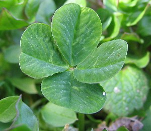The Four Leaf Clover The Lucky Clover Image