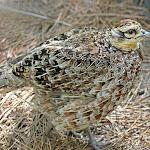 Reeve's_Pheasant_female_RWD.jpg