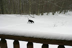 Buddy loves exploring in the snow.