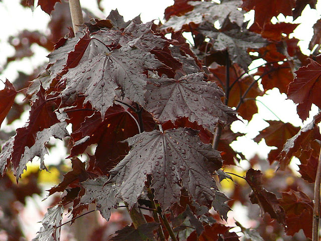 King Crimson cultivar of the Norway Maple