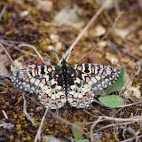 Zerynthia rumina (L., 1758). Plateau de Coupon (517 m), Viens (Vaucluse), 10 mai 2014. Photo : J.-M. Gayman