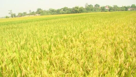 pvcfc.vn Kinh nghiệm trồng lúa nước