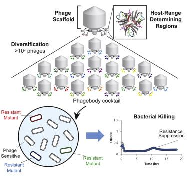 Phage host range