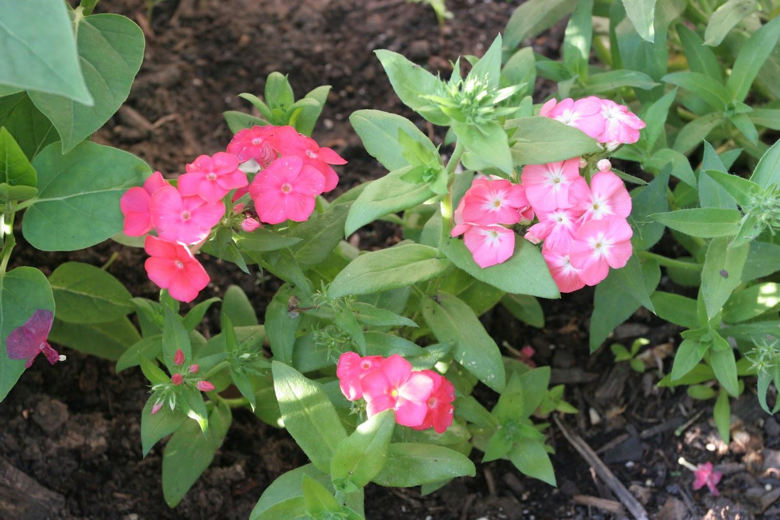 Gardening 2012 - IMG_2866.JPG