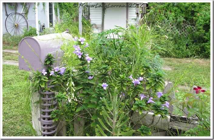 10-24-philippine-violetjpg
