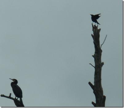 9 cormorant and crow