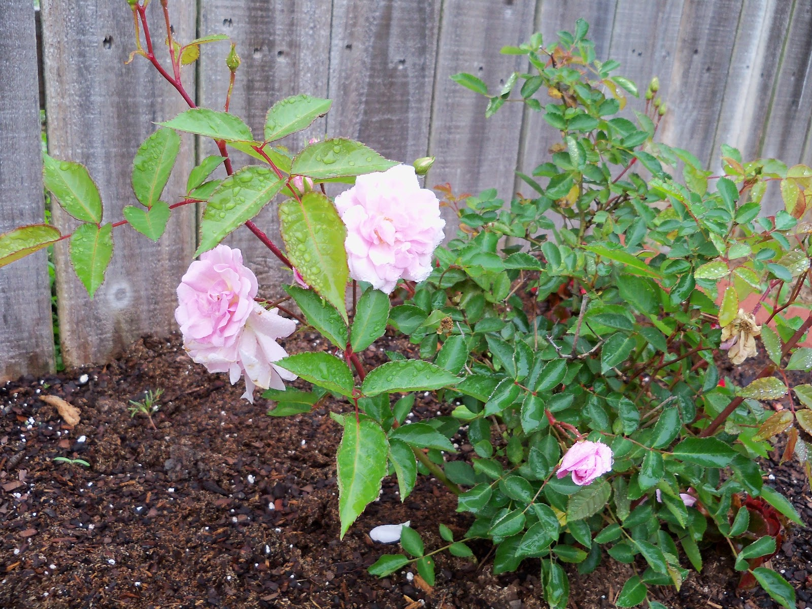 Gardening 2010 - 101_0644.JPG