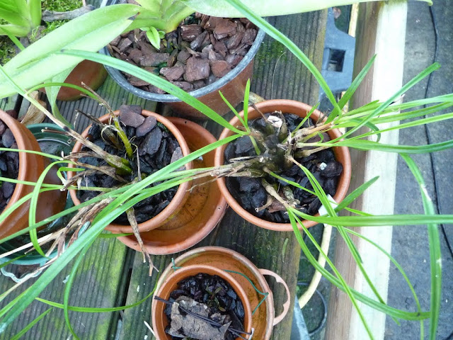 Discussion autour d'un genre : Les Dendrobium - Page 3 P1230258