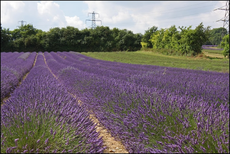 Fields of Lavendin at Castle Farm Lavender - The Hop Shop