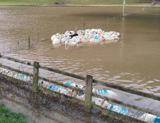 Major livestock rescue from floods
