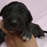 dark chocolate female @ 2 weeks/available