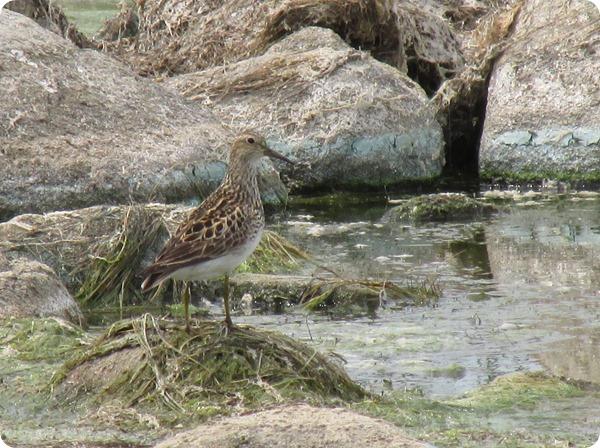 IMG_8275 Pectoral Sandpiper Bird (6)