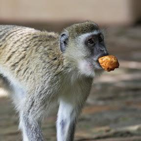 Vervet with Muffin, Botswana