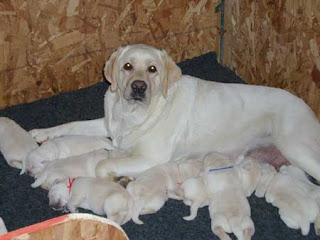 "Asti's first litter of 8.""Kramer"" is the big pup with the blue yarn around his neck."