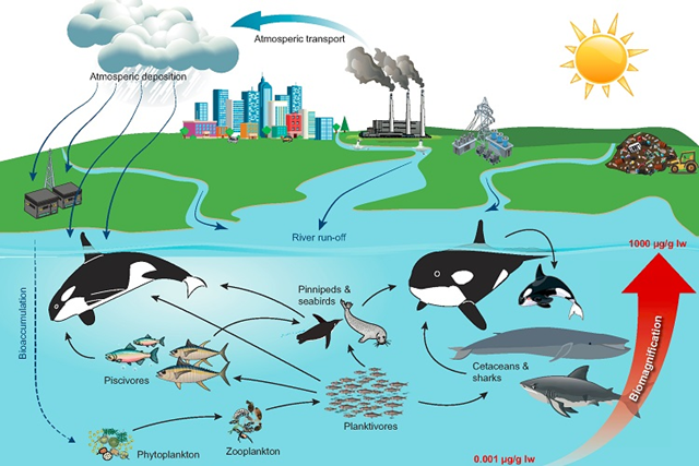 Diagram showing the PCB food web and how it contaminates killer whales (Orcinus orca). Graphic: Desforges, et al., 2018 / Science