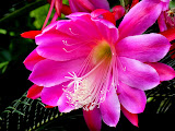 """Pink Cereus Bloom"" by Michael Laakso - 3d place A general"