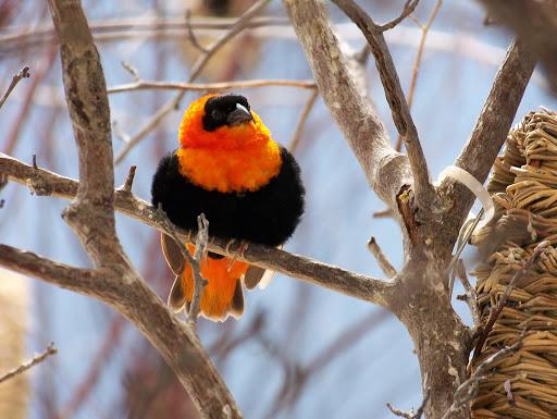 Texas bird of paradise at the National Aviary