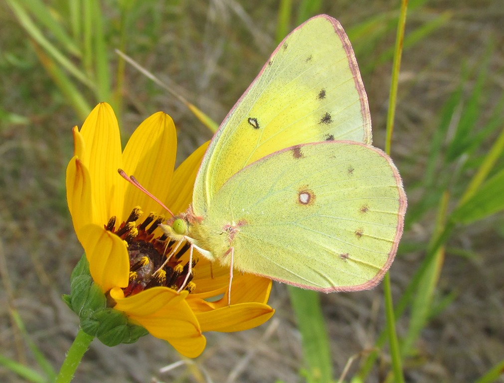 [IMG_9228-Female-Orange-Sulphur-Butte%5B2%5D]