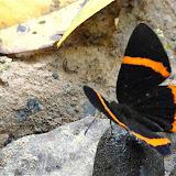 Riodina lysippus lysias STICHEL, 1910. Colider (Mato Grosso, Brésil), avril 2011. Photo : Cidinha Rissi