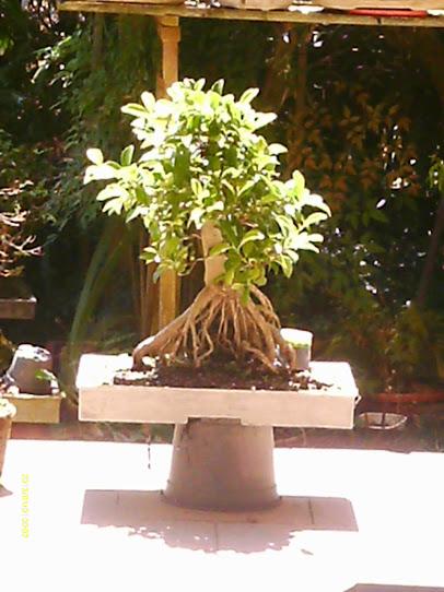 Ficus Microcarpa var. Indica... - Página 2 IMAG0002
