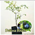Jual Bibit Pohon Delima Hitam Harga Terjangkau