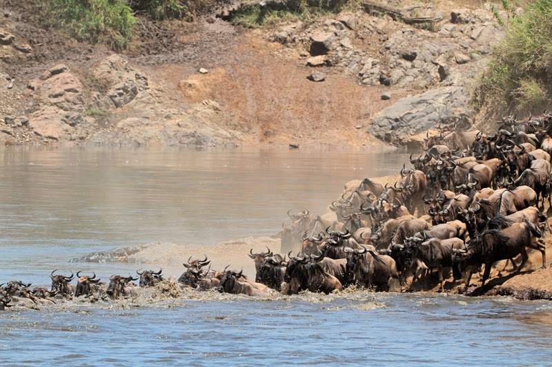 Wildebeest migration crossing a river in Kenya