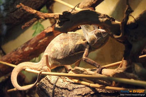 Tuchlino Park Egzotycznych Zwierzaków - kameleon