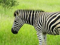Zebra - Kruger NP, South Africa