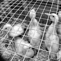 Patos, Mercado PerPe Garau