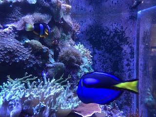 En orange og hvitstripete klovnefisk og en blå fisk med gul halefinne.