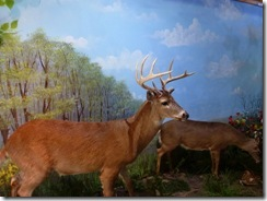 White tail deer display