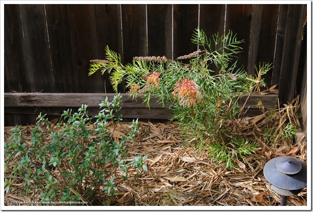161115_FY_Grevillea-Superb_009