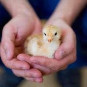 К чему снятся маленькие цыплятки фото