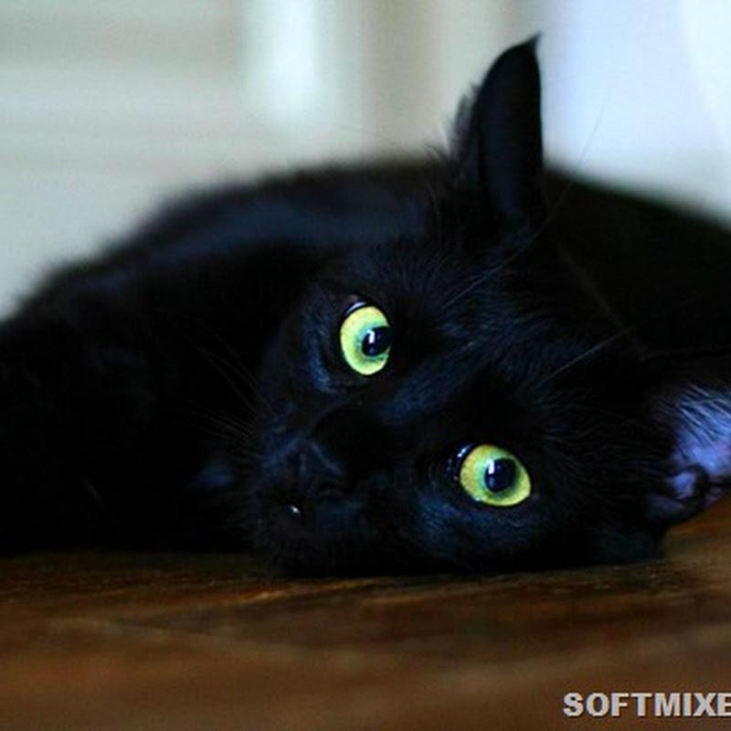 Семь неожиданных фактов о черных котах