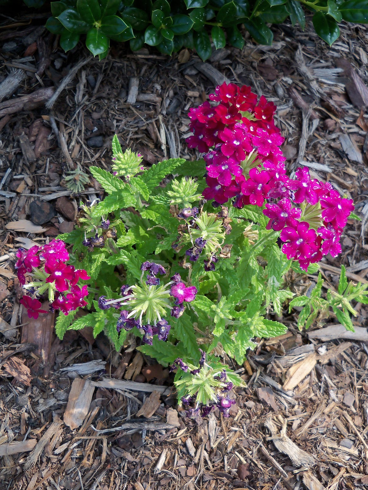 Gardening 2010, Part Two - 101_3154.JPG